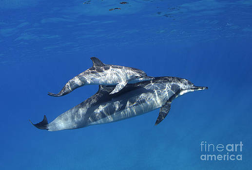 Mom and Calf Dolphins by David Olsen