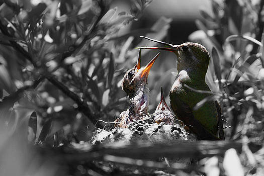 Momma hummingbird feeding babies by Old Pueblo Photography