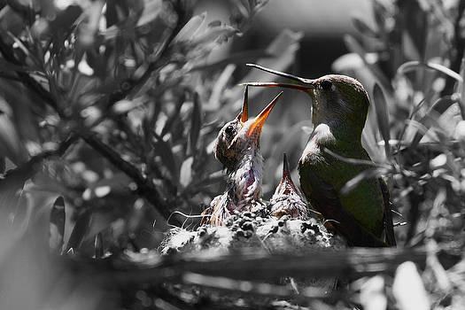 Momma hummingbird feeding babies by Old Pueblo Photography