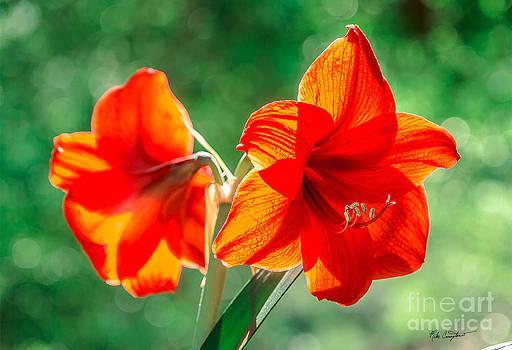 Moms Amaryllis Flower by Mike Covington