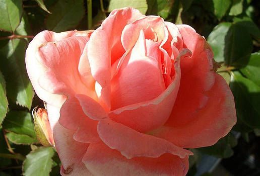 Mom's Rose by Janice Woodring