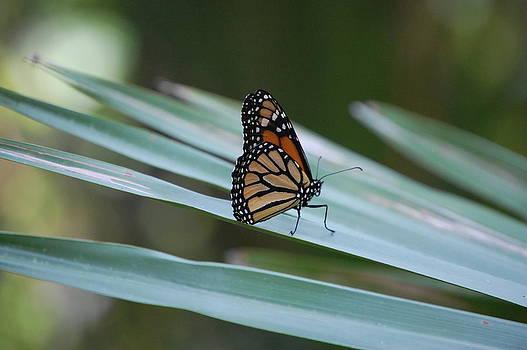 Monarch by Alyson Innes