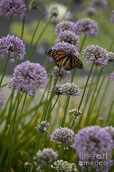 Monarch and chives by Kelly Morrow