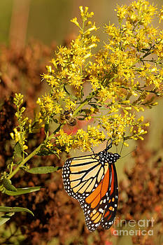 Monarch and the Bee 2 by Natural Focal Point Photography