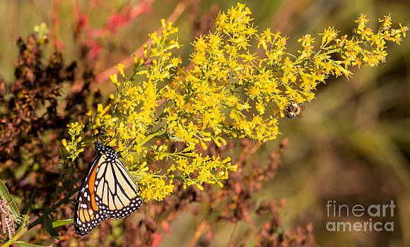Monarch and the Bee by Natural Focal Point Photography