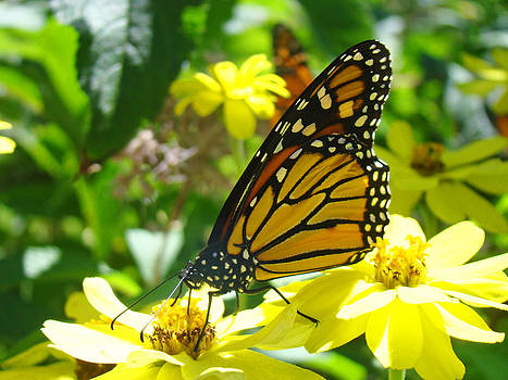 Baslee Troutman - Monarch Butterfiles art Prints Yellow Flowers