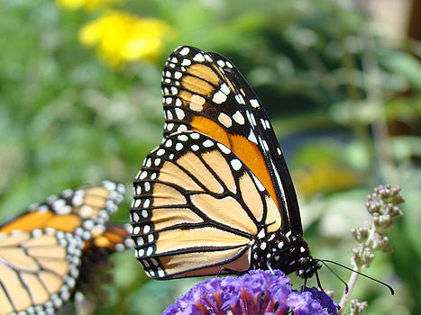 Baslee Troutman - Monarch Butterfly Art Prints Butterflies Nature