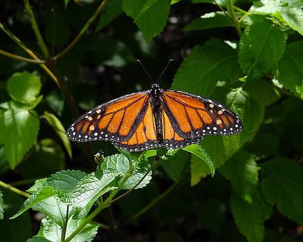 Monarch Butterfly by David Nichols