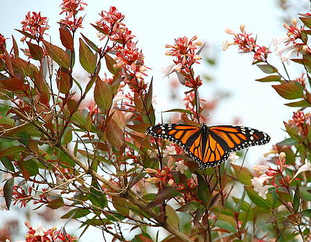 Monarch Butterfly by Francie Davis