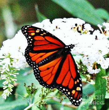 Monarch Butterfly by Jinx Farmer