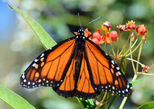 Monarch Butterfly by Julie Cameron
