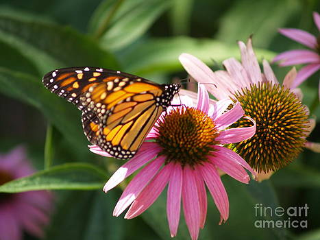 Monarch Butterfly by Melissa McDole