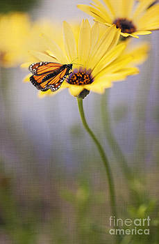 Susan Gary - Monarch Butterfly on Yellow Daisy