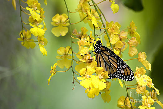 Jill Lang - Monarch Butterfly on Yellow Orchids