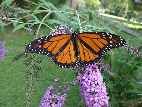 Richard Reeve - Monarch Butterfly