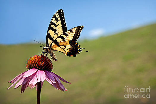 Monarch Butterfly by Sharon Dominick