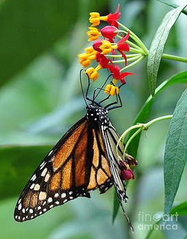 Wayne Nielsen - Monarch Butterfly Sips Nectar from Candy Flowers Yellow and Red
