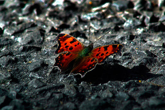 Monarch butterfly by Slava Shamanoff
