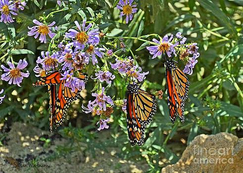 Susan Wiedmann - Monarch Butterfly Trio