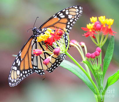 Wayne Nielsen - Monarch Butterfly  with Butterfly Flower - Gossamer Wings Embrace Candy Blossoms