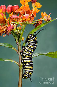 Anthony Mercieca - Monarch Caterpillar On Milkweed