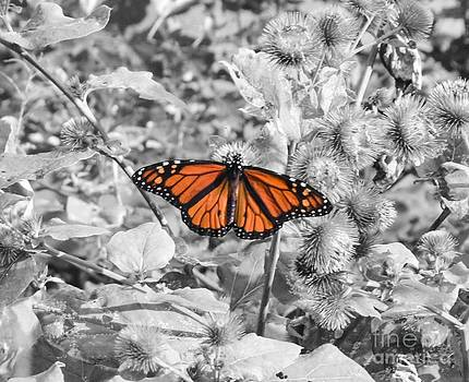 Monarch by Catherine Hill