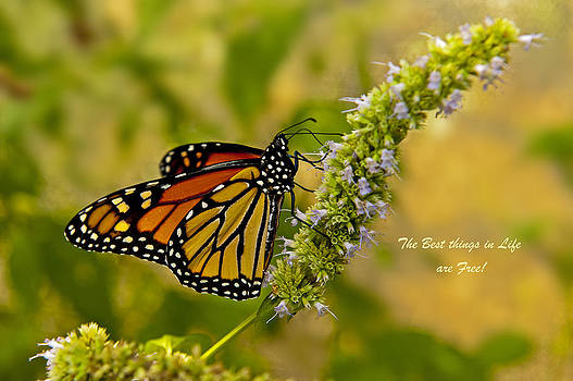 Jonathan E Whichard - Monarch Danaus Plexippus