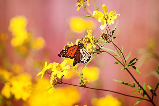 Monarch Display by Joel Olives
