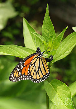 Monarch Egg Time by Steve Augustin