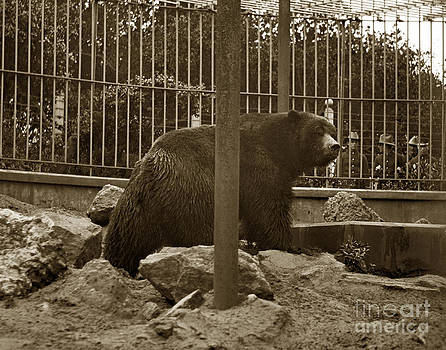 California Views Mr Pat Hathaway Archives - Monarch Grizzly Bear Golden Gate Park San Francisco California circa 1900