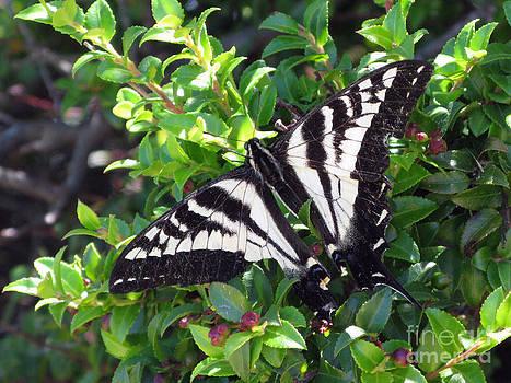 Monarch In The Wild. Mount Tam by Ausra Huntington nee Paulauskaite