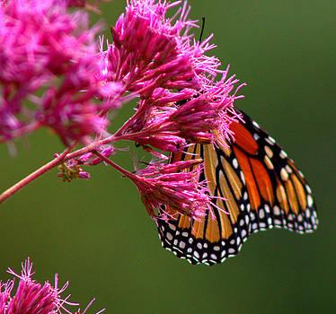 Monarch by Leah Reynolds
