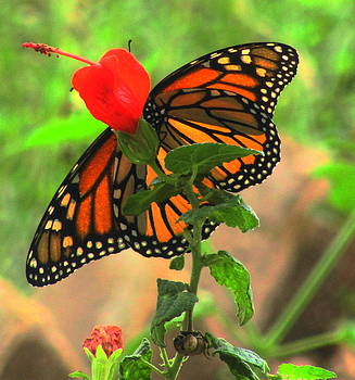 Monarch Melody by Lisa Waggoner