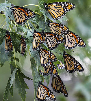 Monarch migration by Jill Bell