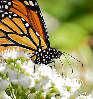Monarch Moment by Lori Tambakis
