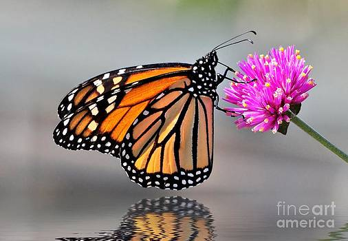Monarch On A Pink Flower by Kathy Baccari
