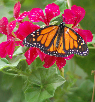 Monarch on Geranium by Peg Toliver