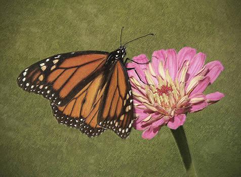 Monarch on Pink Zinnia 2 by Cheryl Ann Quigley