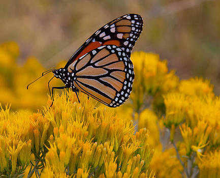 Monarch on Rabbit Brush by Sally Hanrahan