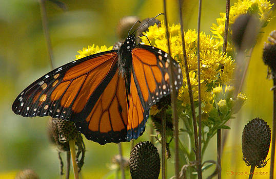 Monarch on Stiff Goldenrod by Bruce Morrison