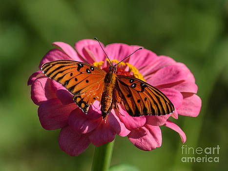 Monarch on Zinnia by Renee Barnes