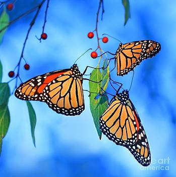 Monarch Trio by Pattie Calfy