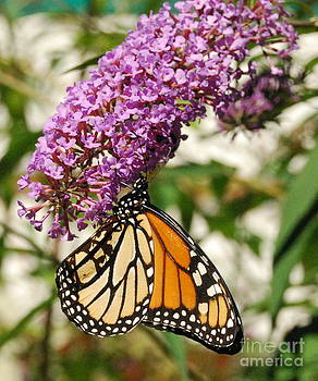 Monarch Visits New England by Eunice Miller
