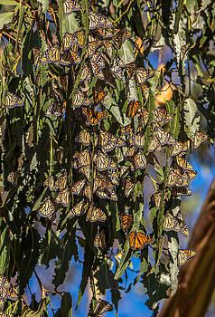 Randy Straka - Monarchs in Mass