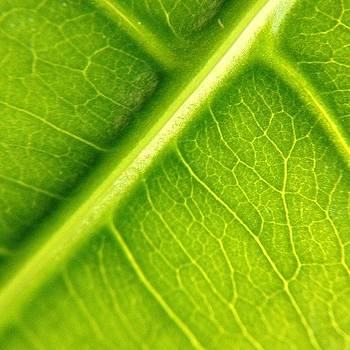 Money Tree Leaf. #macroshots By by Amanda Max