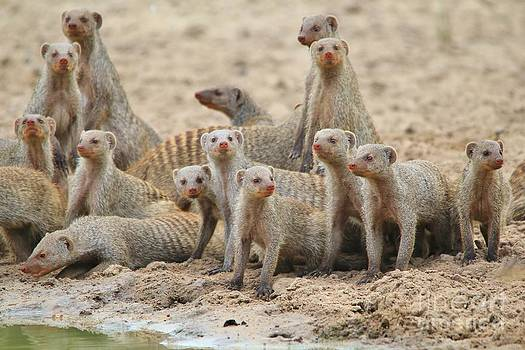 Mongoose Clan - Brotherhood of the Curious by Hermanus A Alberts