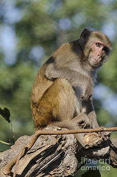 Pravine Chester - Monkey in thought