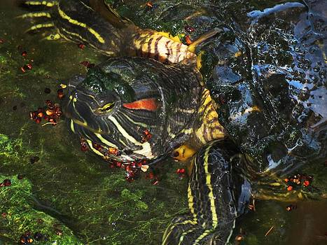 Monster Turtle in Everglades National Park Florida by Bill Marder