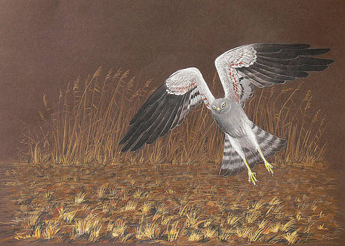 Montagus Harrier by Deak Attila