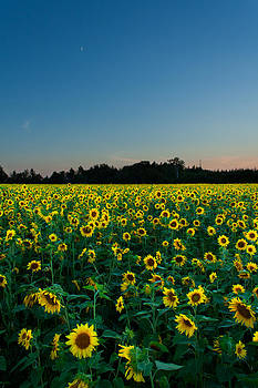 Moon and Sunflowers by Matt Dobson